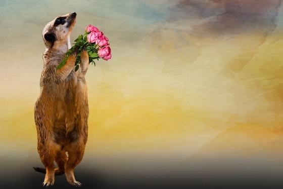 Meerkat holding flowers